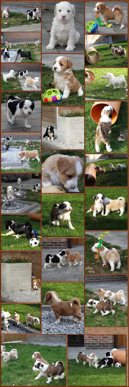 """Puppy""""s Tibetaanse terrier Du Comble de Bonheur"""